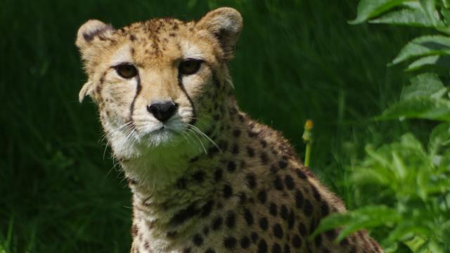 Parc Zoologique Cerza Guepard
